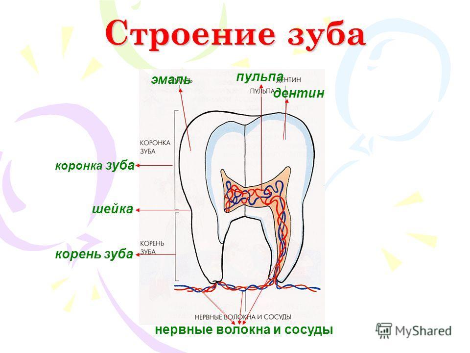 Строение зуба нервные волокна и сосуды корень зуба коронка зуба эмаль пульпа дентин шейка
