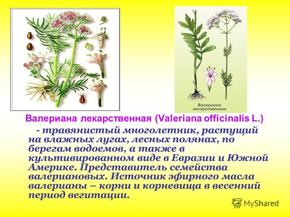 Валериана лекарственная (Valeriana officinalis L.) - травянистый многолетник, растущий на влажных лугах, лесных полянах, по берегам водоемов, а также в культивированном виде в Евразии и Южной Америке. Представитель семейства валериановых. Источник эф