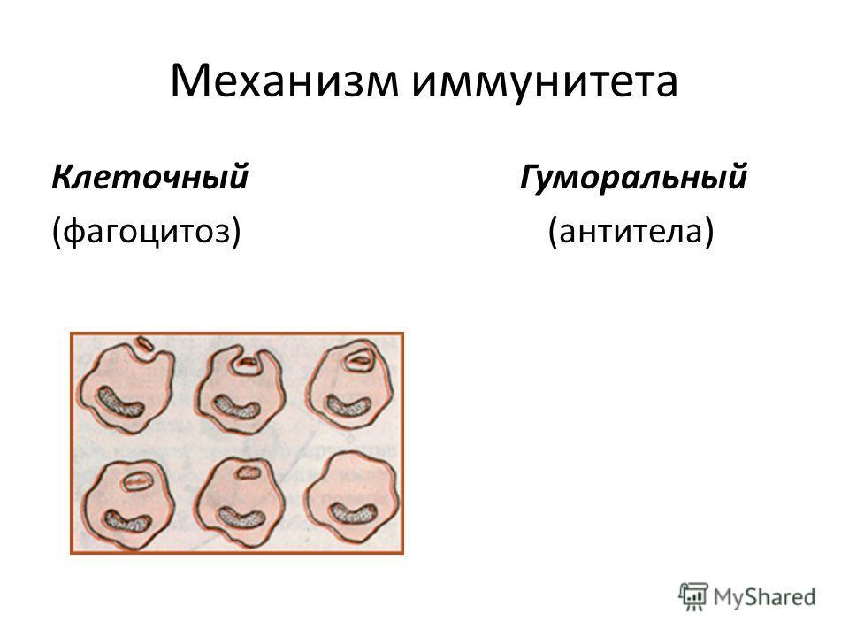 Механизм иммунитета Клеточный Гуморальный (фагоцитоз) (антитела)