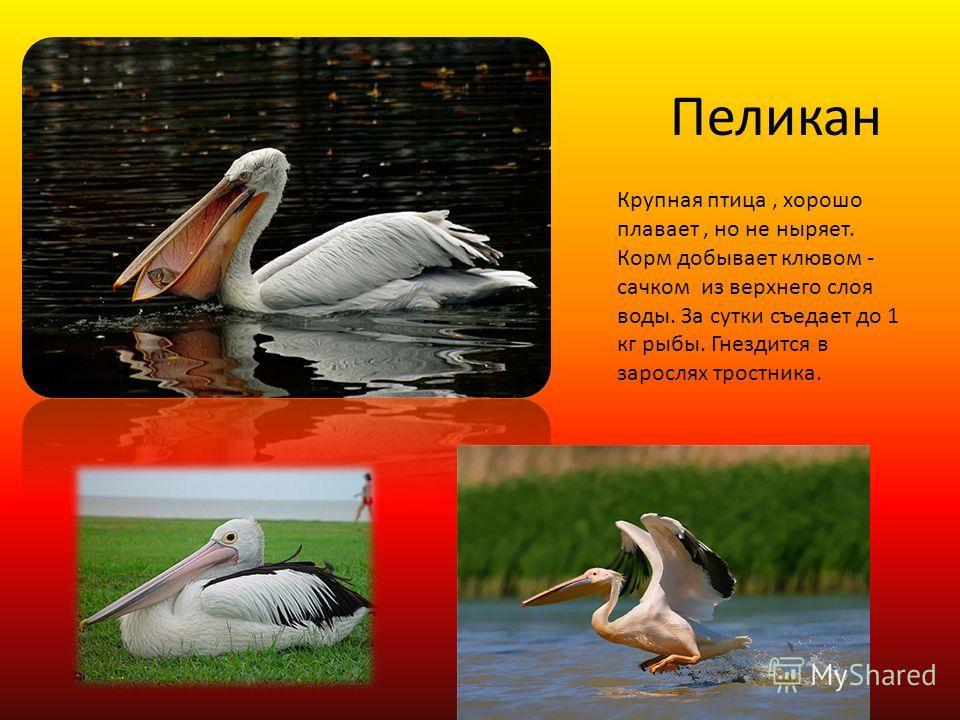 Пеликан Крупная птица, хорошо плавает, но не ныряет. Корм добывает клювом - сачком из верхнего слоя воды. За сутки съедает до 1 кг рыбы. Гнездится в зарослях тростника.