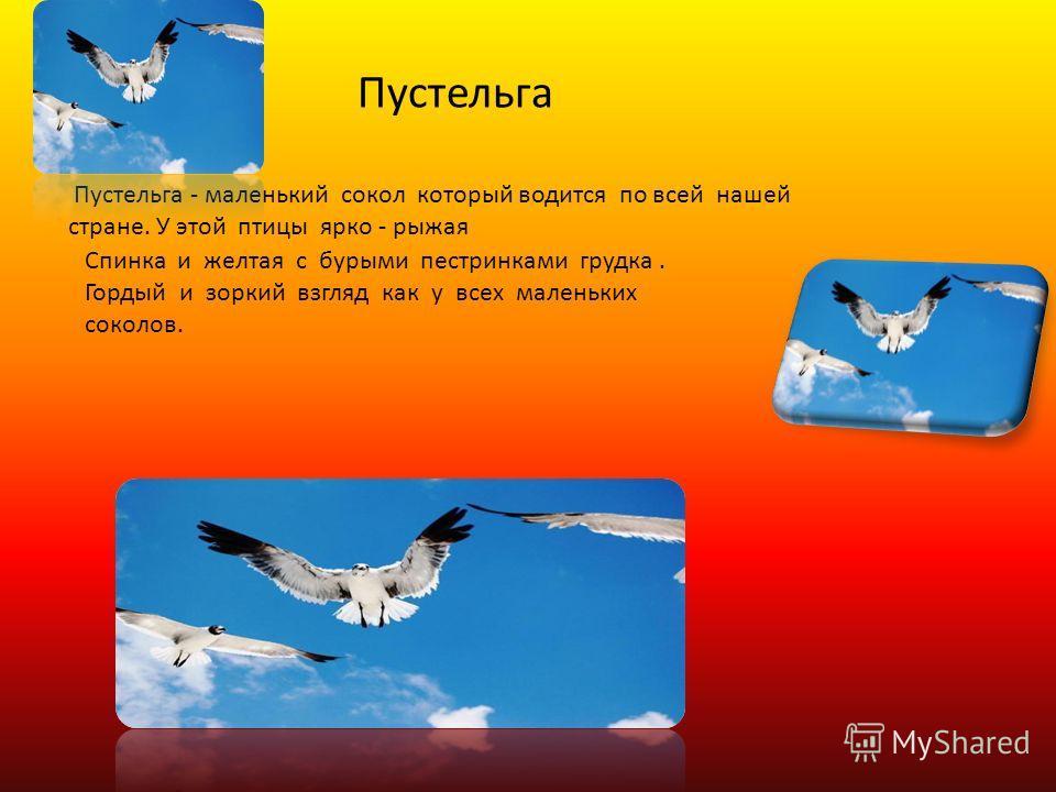 Пустельга - маленький сокол который водится по всей нашей стране. У этой птицы ярко - рыжая Спинка и желтая с бурыми пестринками грудка. Гордый и зоркий взгляд как у всех маленьких соколов. Пустельга