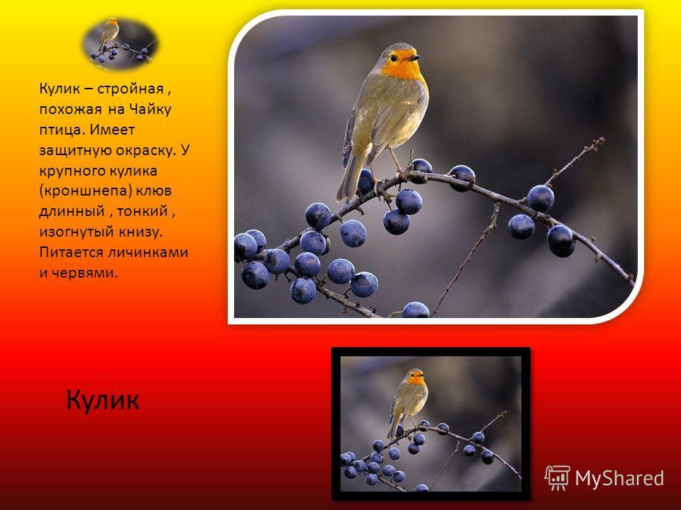 Кулик Кулик – стройная, похожая на Чайку птица. Имеет защитную окраску. У крупного кулика (кроншнепа) клюв длинный, тонкий, изогнутый книзу. Питается личинками и червями.
