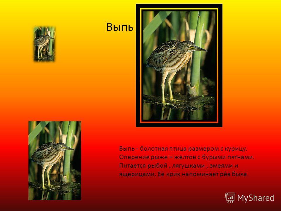 Выпь Выпь - болотная птица размером с курицу. Оперение рыже – жёлтое с бурыми пятнами. Питается рыбой, лягушками, змеями и ящерицами. Её крик напоминает рёв быка.