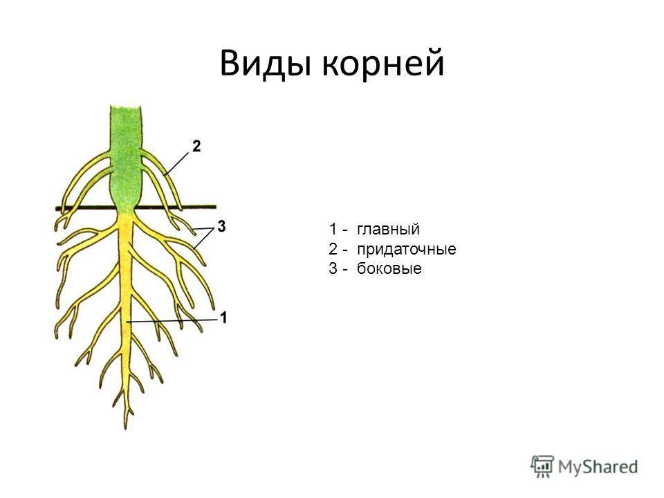 Виды корней 1 - главный 2 - придаточные 3 - боковые