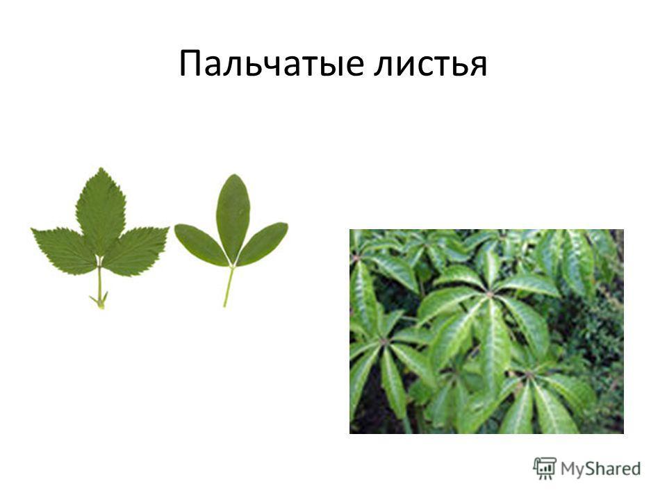 Пальчатые листья