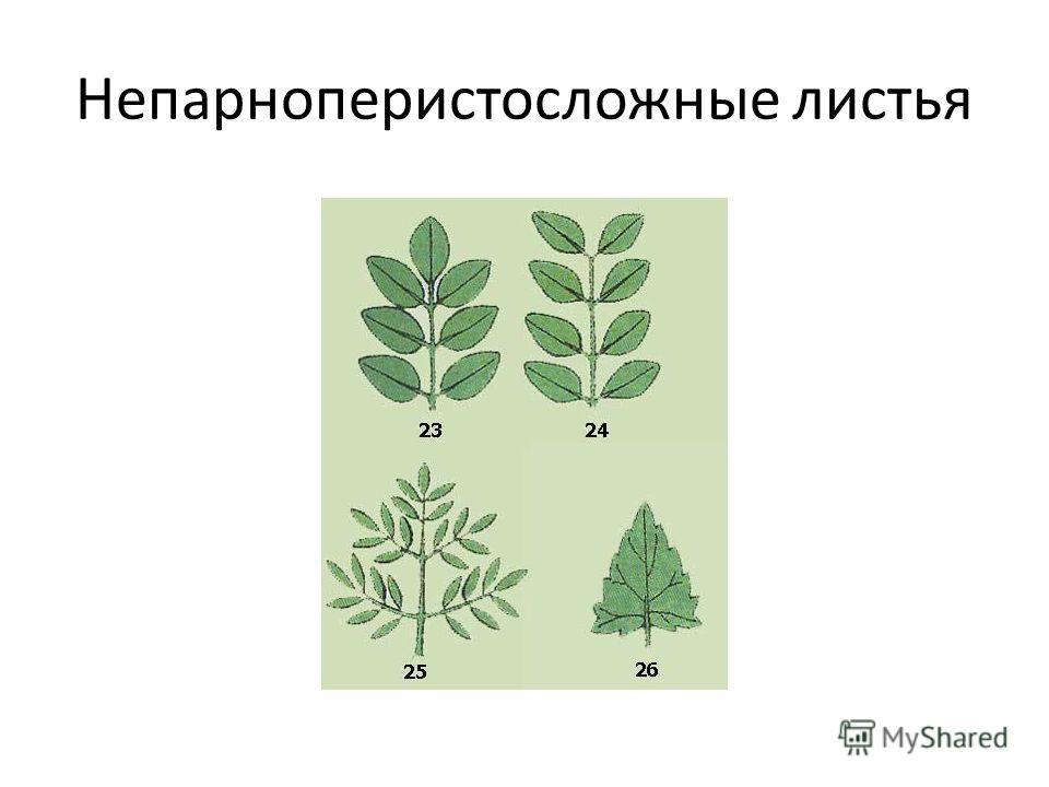 Непарноперистосложные листья