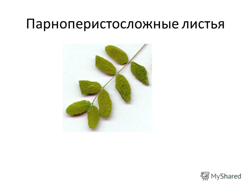 Парноперистосложные листья