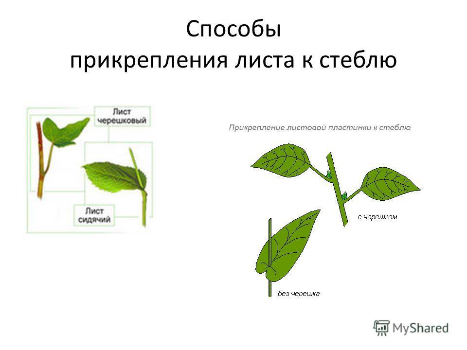 Способы прикрепления листа к стеблю