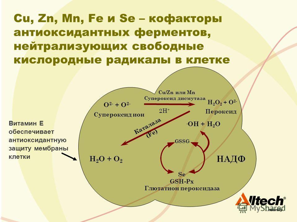 Витамин E обеспечивает антиоксидантную защиту мембраны клетки Cu, Zn, Mn, Fe и Se – кофакторы антиоксидантных ферментов, нейтрализующих свободные кислородные радикалы в клетке Супероксид ион O 2- + O 2- Cu/Zn или Mn Супероксид дисмутаза 2H + H 2 O 2