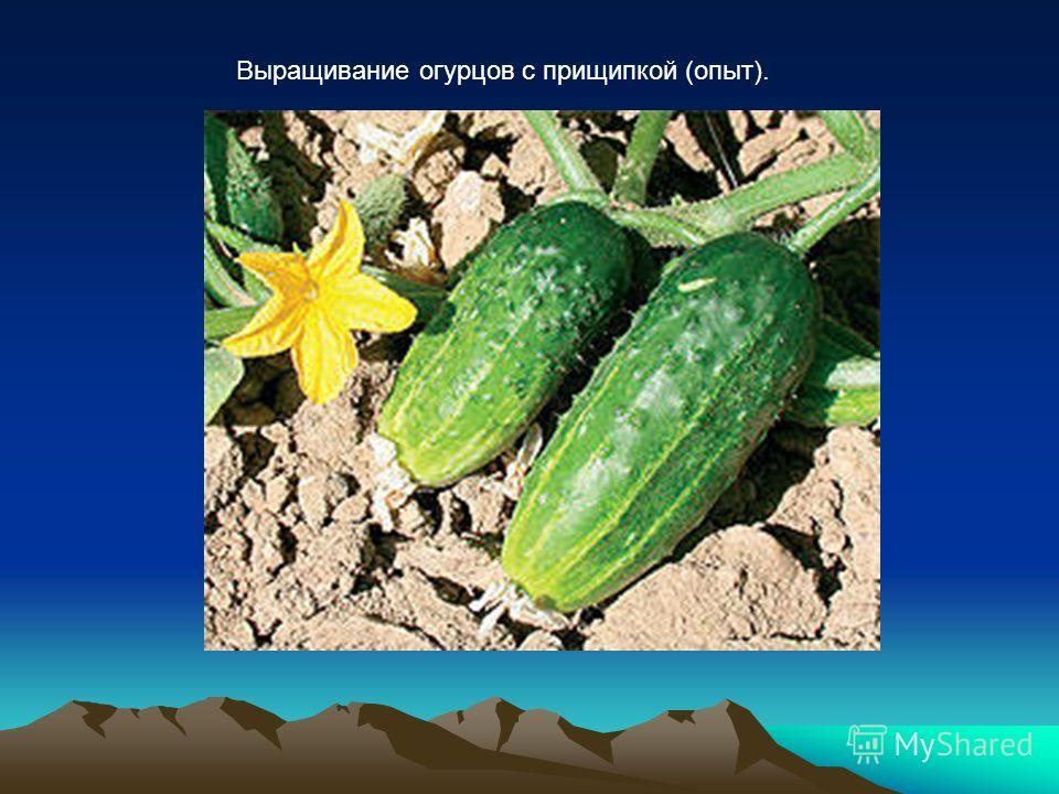 Выращивание огурцов с прищипкой (опыт).