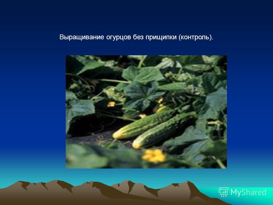 Выращивание огурцов без прищипки (контроль).