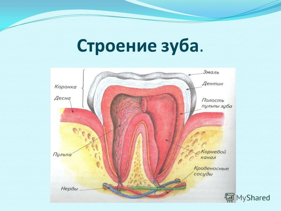 Зубы – единственные видимые кости человека, так как они не покрыты кожей. С помощью зубов человек откусывает и пережёвывает пищу. Первые зубы – молочные, их у детей 20 штук. У взрослого человека 32 постоянных зуба.