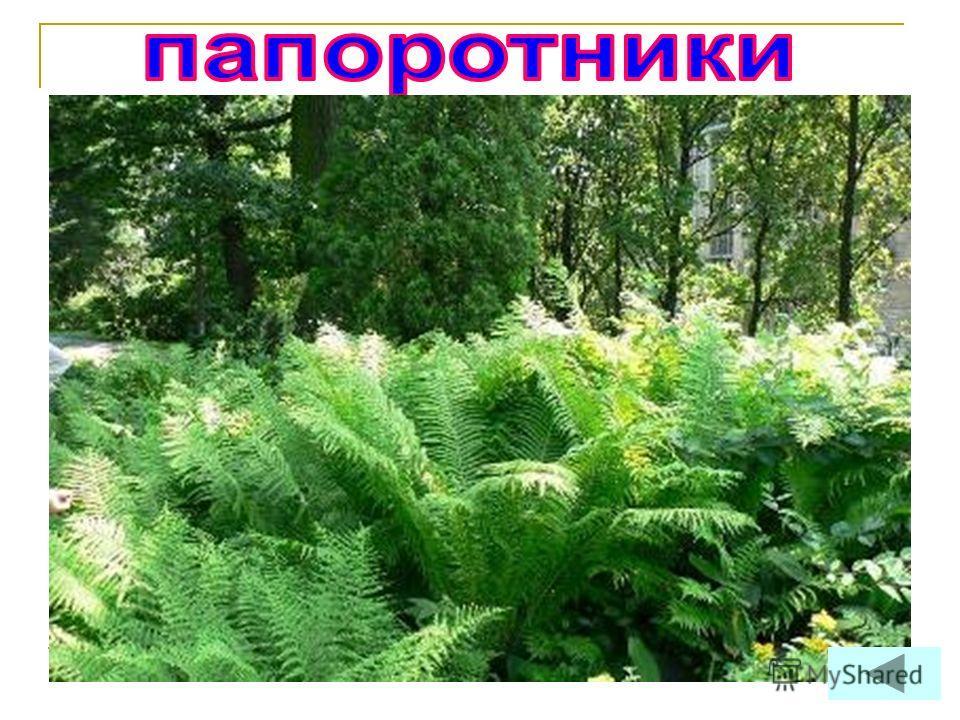 Эти растения легко узнать по красивым листьям похожим на перья, похожим на большие перья. Кроме листьев у этих растений есть корни и стебли. Цветов, плодов и семян у них не бывает.