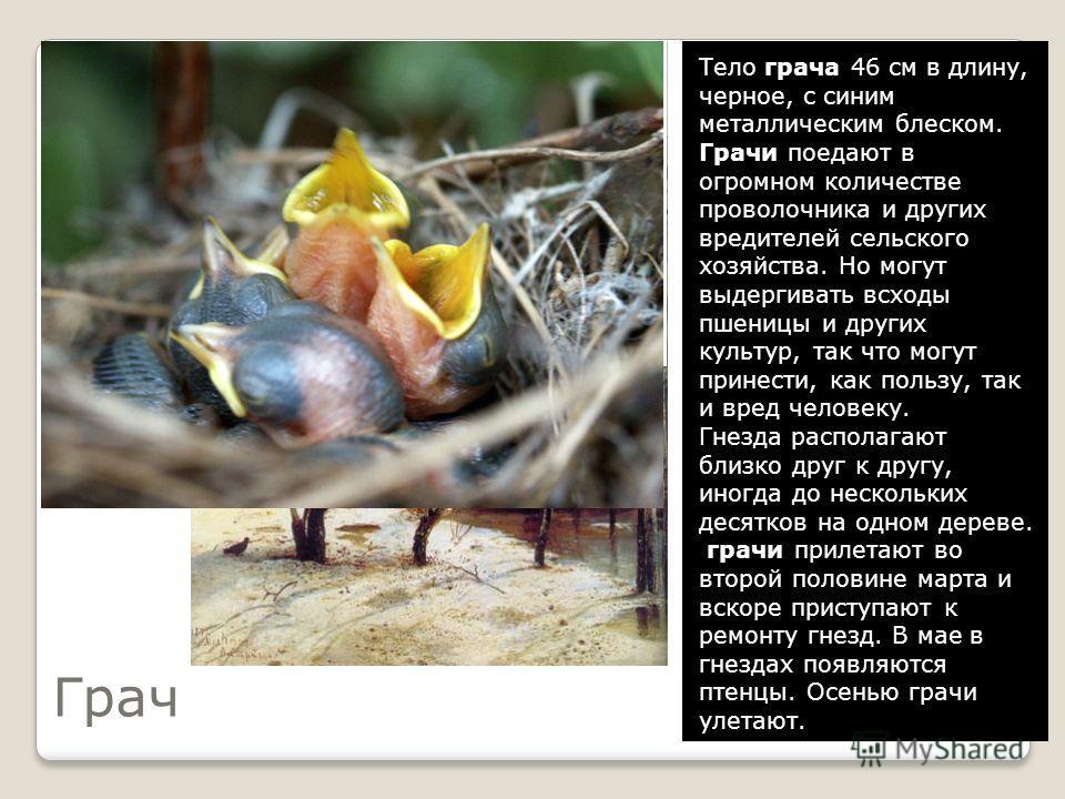 Разгадайте кроссворд 5. Всех перелётных птиц черней, Чистит пашню от червей. 1 3 4 5 СОЛОВЕЙ СКВОРЕЦ ГУСЬ ЖАВОРОНОК ГРАЧ