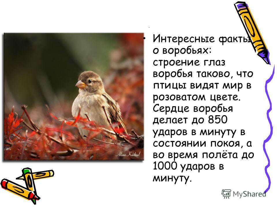 Интересные факты о воробьях: строение глаз воробья таково, что птицы видят мир в розоватом цвете. Сердце воробья делает до 850 ударов в минуту в состоянии покоя, а во время полёта до 1000 ударов в минуту.