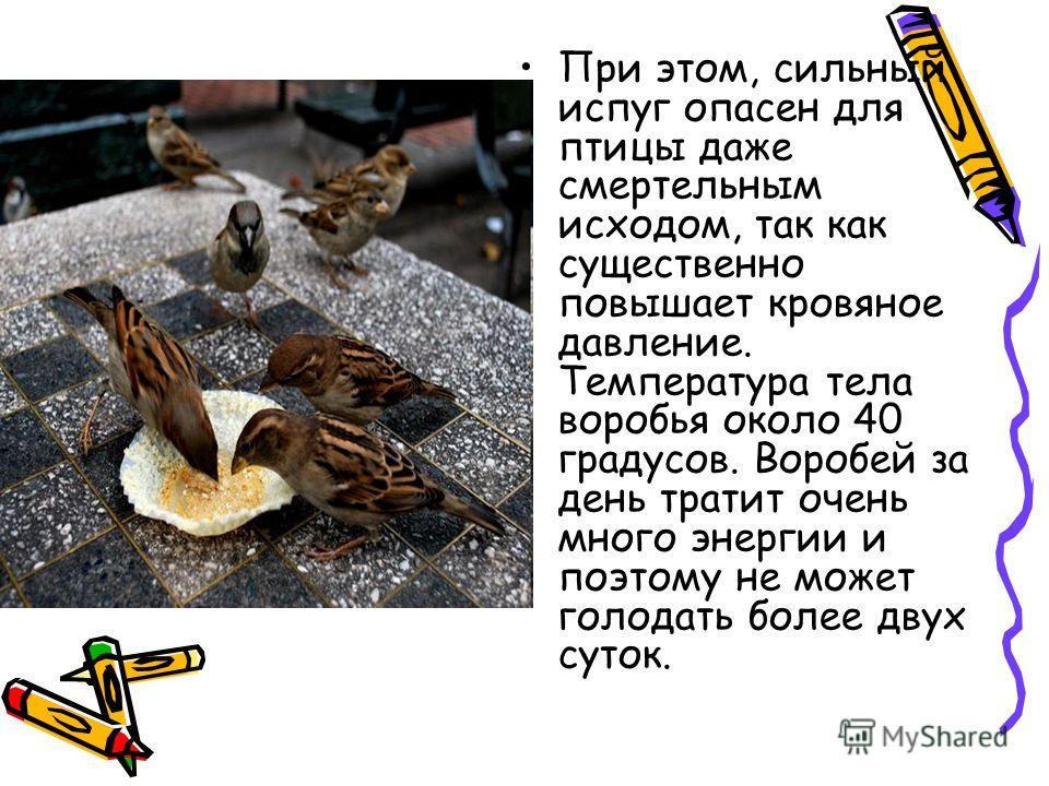 При этом, сильный испуг опасен для птицы даже смертельным исходом, так как существенно повышает кровяное давление. Температура тела воробья около 40 градусов. Воробей за день тратит очень много энергии и поэтому не может голодать более двух суток.