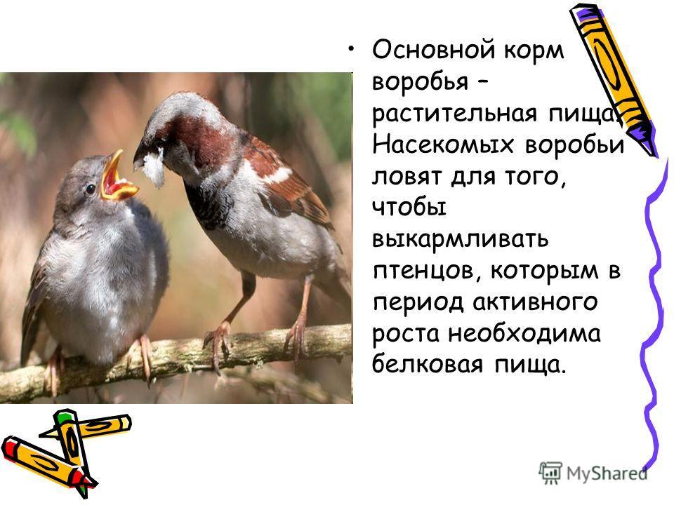 Основной корм воробья – растительная пища. Насекомых воробьи ловят для того, чтобы выкармливать птенцов, которым в период активного роста необходима белковая пища.