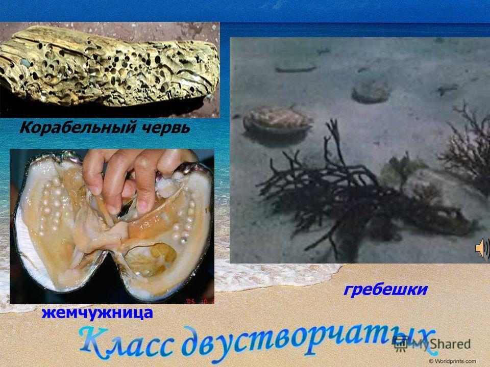 гребешки Корабельный червь жемчужница