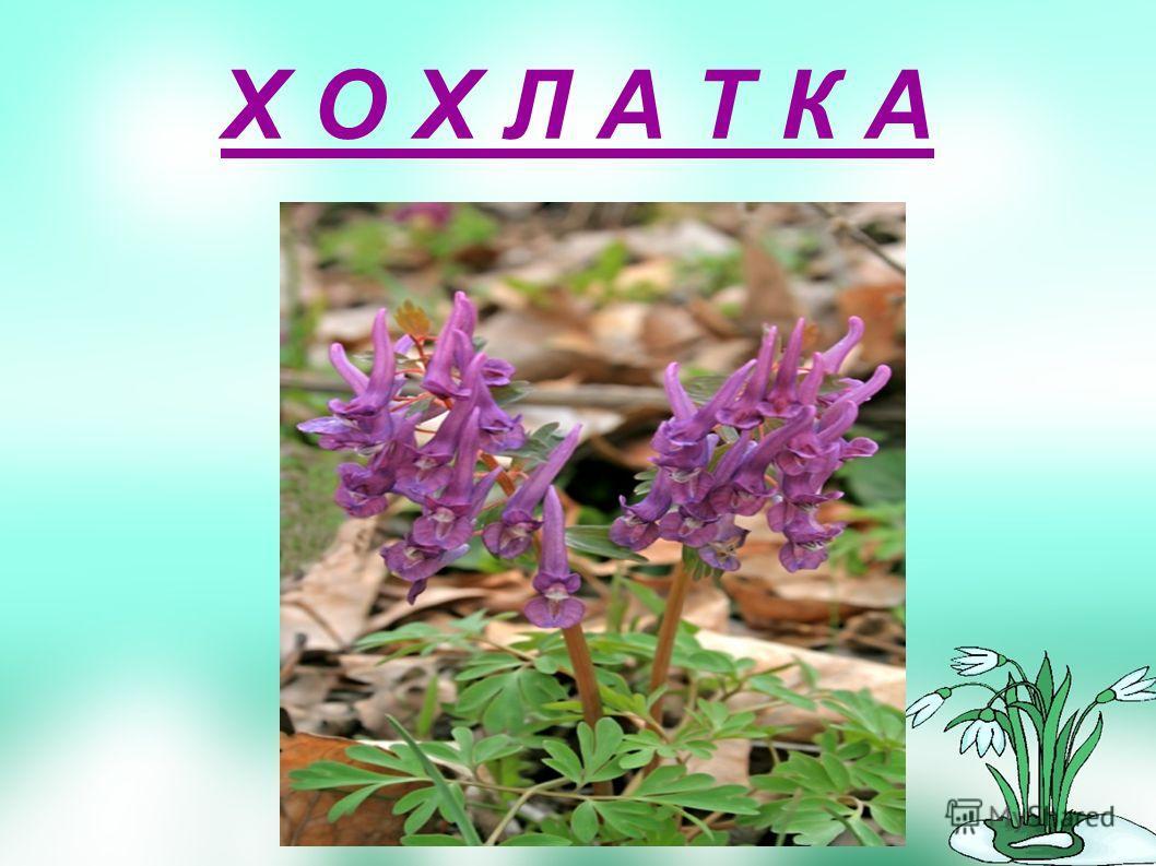 В апреле начинает цвести необыкновенно красивый цветок. Любят это растение шмели и пчелы за обильный для ранней весны нектар. За медовую дань и так назвали этот цветок. Его ни с каким другим цветком не спутаешь: на одном стебельке и розовые, и фиолет