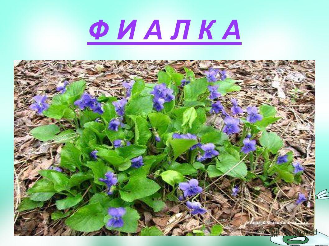 Зацветает этот весенний цветок очень рано: едва снег успевает исчезнуть. Маленькое растеньице с чудесными сиреневыми цветками, собранными в густую кисть. А у каждого цветочка длинный вырост – хохолок. Радует нас этот хрупкий цветок недолго.