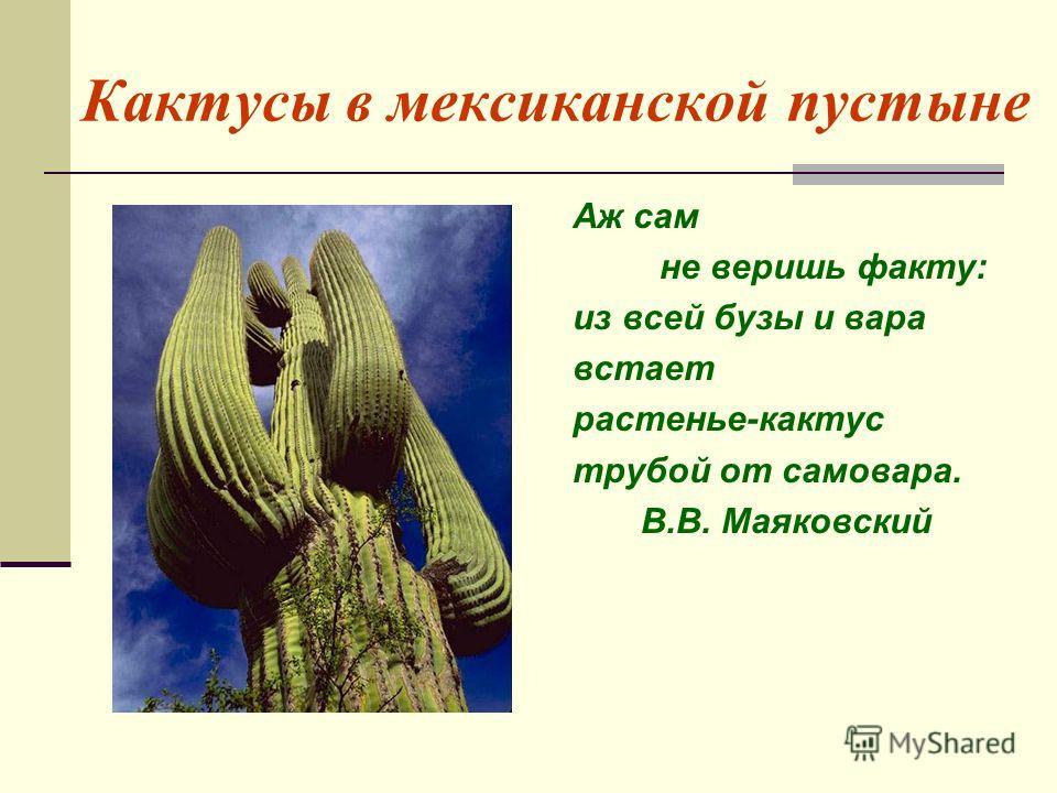 Кактусы в мексиканской пустыне Аж сам не веришь факту: из всей бузы и вара встает растенье-кактус трубой от самовара. В.В. Маяковский