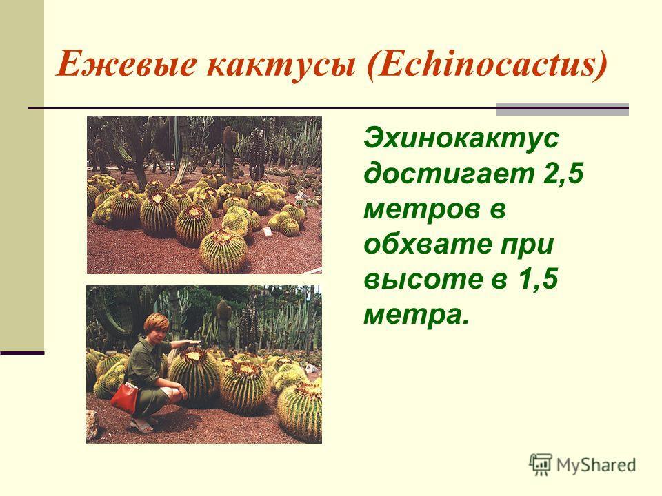 Ежевые кактусы (Echinocactus) Эхинокактус достигает 2,5 метров в обхвате при высоте в 1,5 метра.