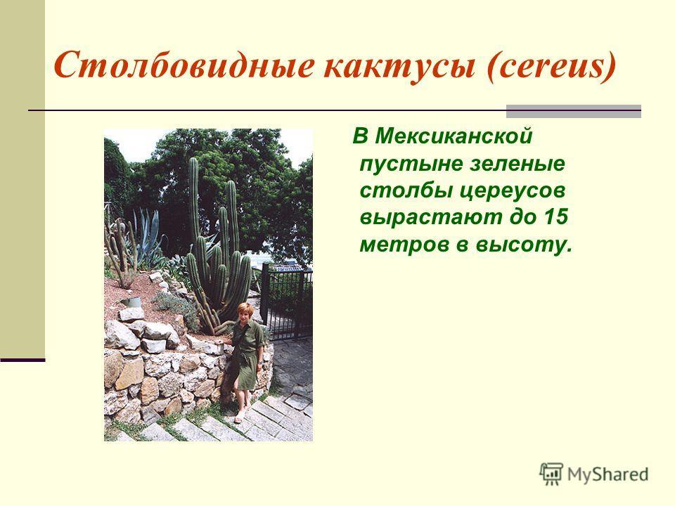 Столбовидные кактусы (cereus) В Мексиканской пустыне зеленые столбы цереусов вырастают до 15 метров в высоту.