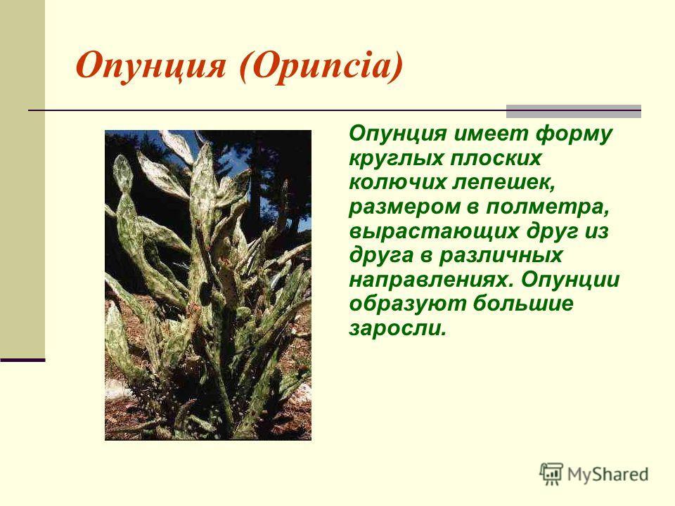 Опунция (Opuncia) Опунция имеет форму круглых плоских колючих лепешек, размером в полметра, вырастающих друг из друга в различных направлениях. Опунции образуют большие заросли.