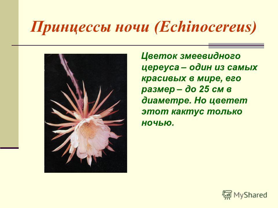 Принцессы ночи (Echinocereus) Цветок змеевидного цереуса – один из самых красивых в мире, его размер – до 25 см в диаметре. Но цветет этот кактус только ночью.
