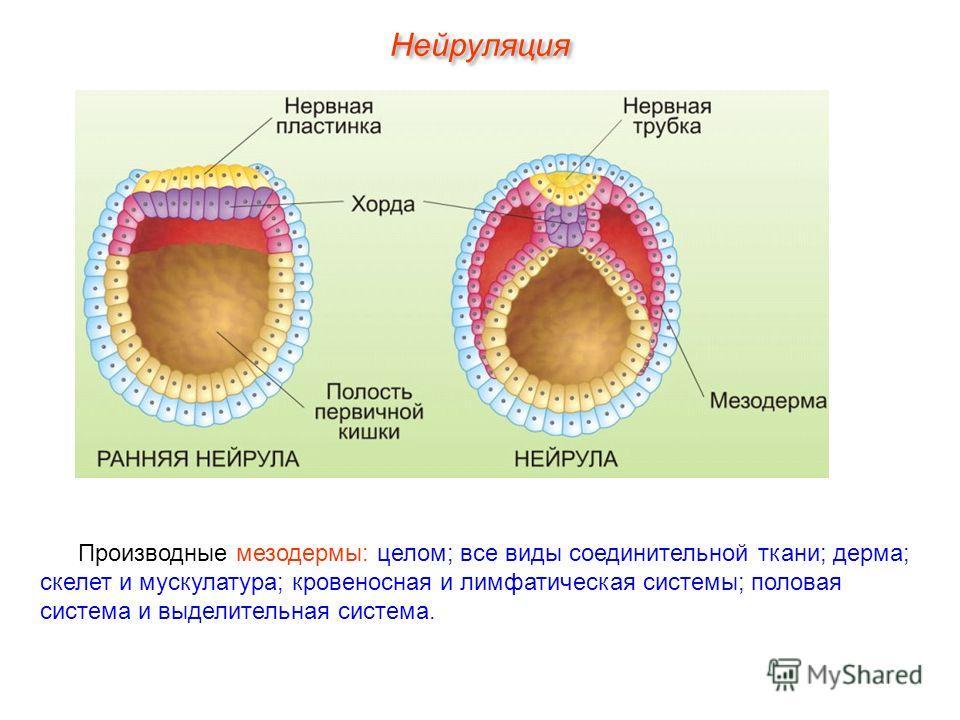 Производные мезодермы: целом; все виды соединительной ткани; дерма; скелет и мускулатура; кровеносная и лимфатическая системы; половая система и выделительная система.