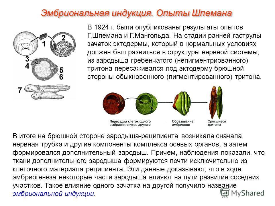Эмбриональная индукция. Опыты Шпемана В 1924 г. были опубликованы результаты опытов Г.Шпемана и Г.Мангольда. На стадии ранней гаструлы зачаток эктодермы, который в нормальных условиях должен был развиться в структуры нервной системы, из зародыша греб