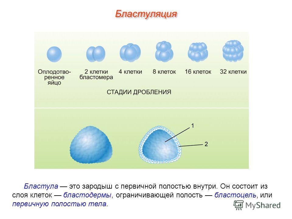 Бластула это зародыш с первичной полостью внутри. Он состоит из слоя клеток бластодермы, ограничивающей полость бластоцель, или первичную полостью тела. Бластуляция