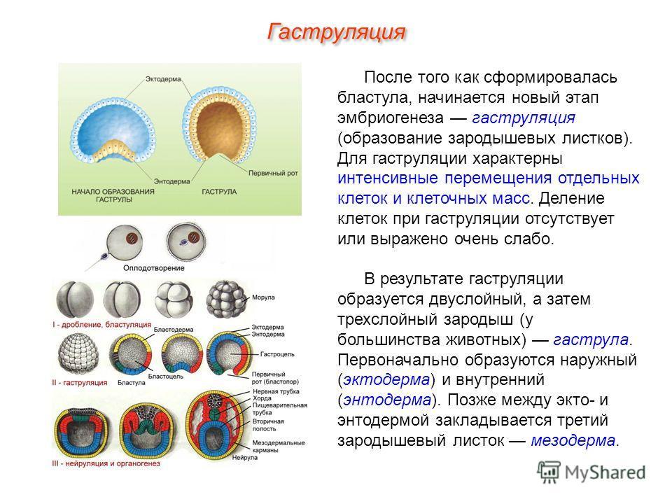 Гаструляция После того как сформировалась бластула, начинается новый этап эмбриогенеза гаструляция (образование зародышевых листков). Для гаструляции характерны интенсивные перемещения отдельных клеток и клеточных масс. Деление клеток при гаструляции