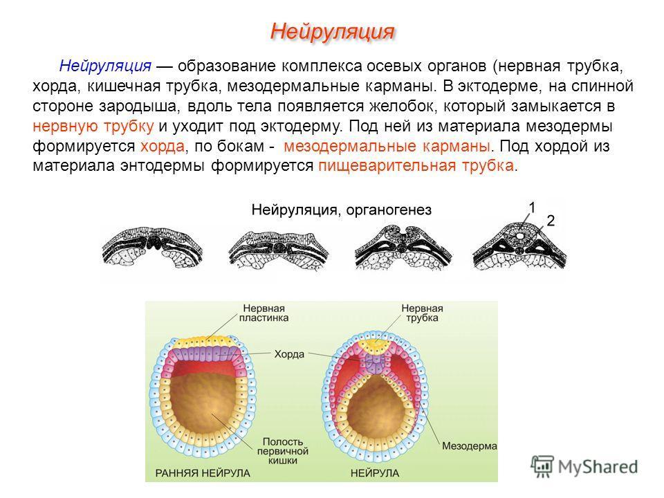 Нейруляция образование комплекса осевых органов (нервная трубка, хорда, кишечная трубка, мезодермальные карманы. В эктодерме, на спинной стороне зародыша, вдоль тела появляется желобок, который замыкается в нервную трубку и уходит под эктодерму. Под