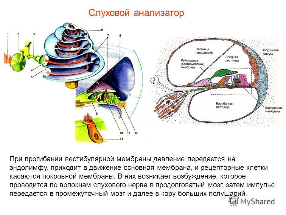 При прогибании вестибулярной мембраны давление передается на эндолимфу, приходит в движение основная мембрана, и рецепторные клетки касаются покровной мембраны. В них возникает возбуждение, которое проводится по волокнам слухового нерва в продолговат