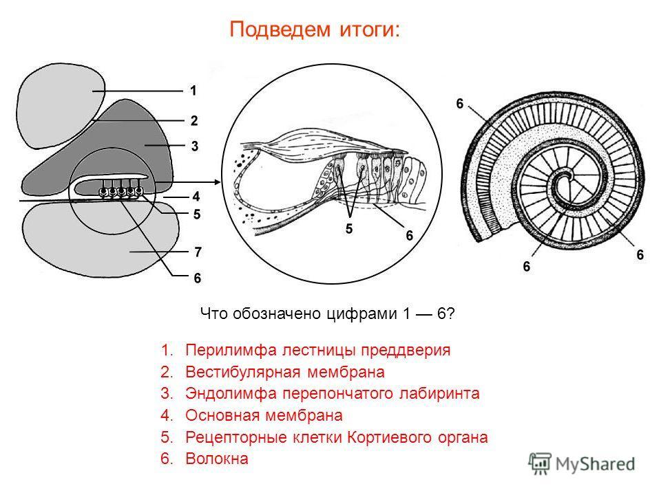Эндолимфа фото