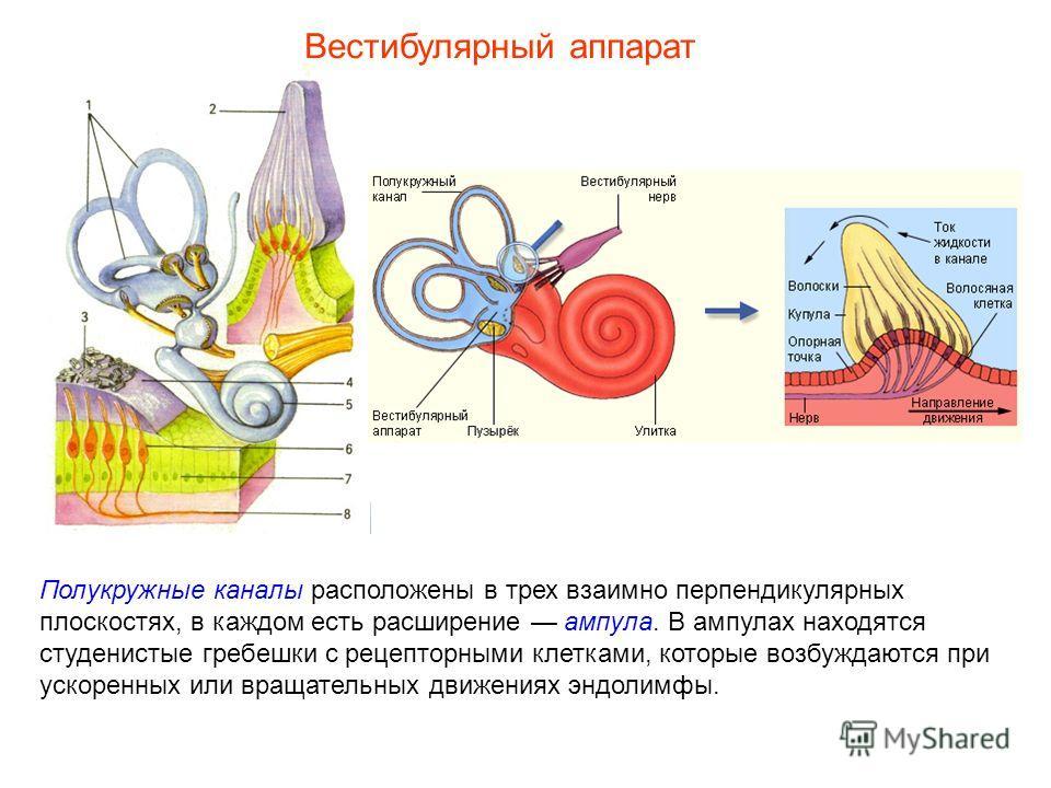 Полукружные каналы расположены в трех взаимно перпендикулярных плоскостях, в каждом есть расширение ампула. В ампулах находятся студенистые гребешки с рецепторными клетками, которые возбуждаются при ускоренных или вращательных движениях эндолимфы. Ве