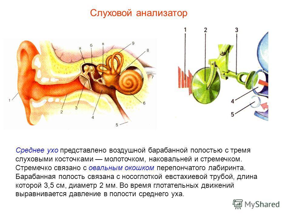Среднее ухо представлено воздушной барабанной полостью с тремя слуховыми косточками молоточком, наковальней и стремечком. Стремечко связано с овальным окошком перепончатого лабиринта. Барабанная полость связана с носоглоткой евстахиевой трубой, длина