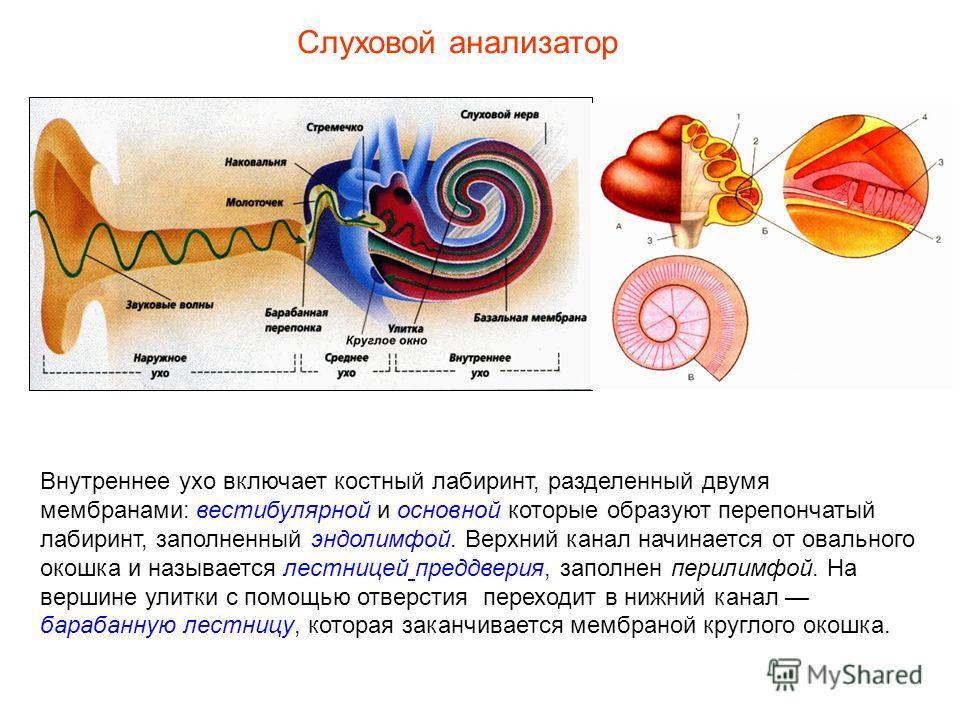 Внутреннее ухо включает костный лабиринт, разделенный двумя мембранами: вестибулярной и основной которые образуют перепончатый лабиринт, заполненный эндолимфой. Верхний канал начинается от овального окошка и называется лестницей преддверия, заполнен