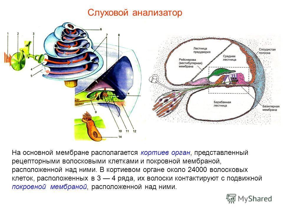 На основной мембране располагается кортиев орган, представленный рецепторными волосковыми клетками и покровной мембраной, расположенной над ними. В кортиевом органе около 24000 волосковых клеток, расположенных в 3 4 ряда, их волоски контактируют с по
