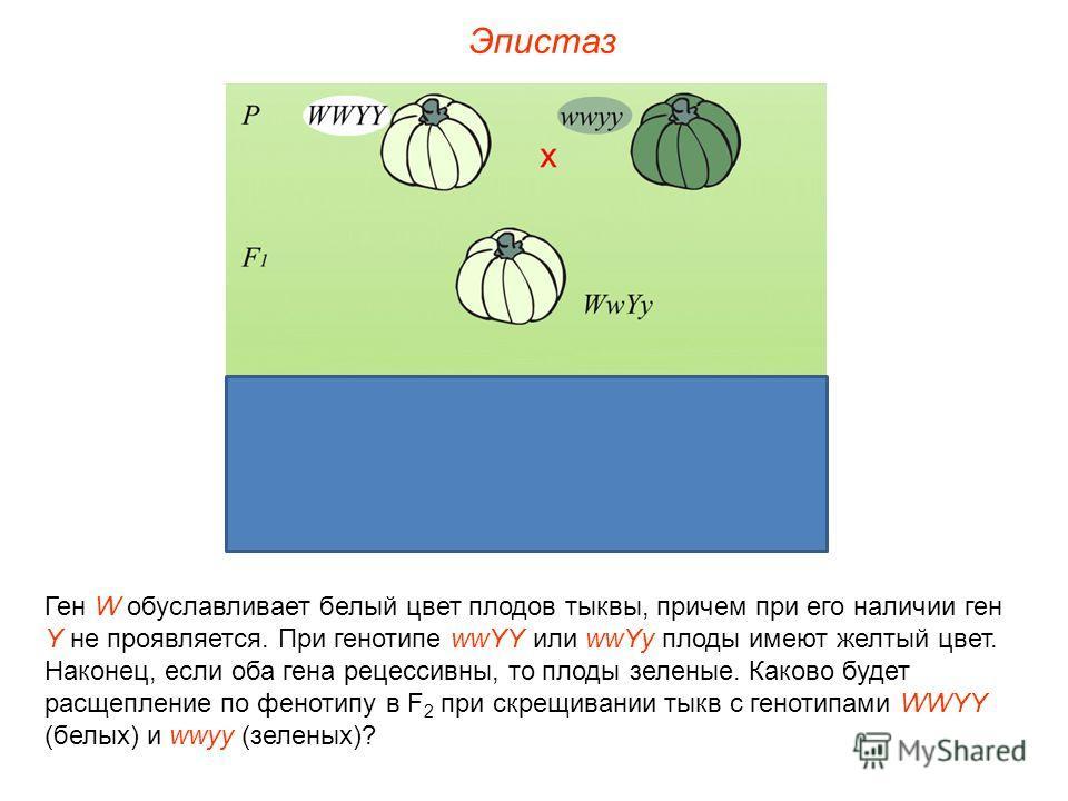 Ген W обуславливает белый цвет плодов тыквы, причем при его наличии ген Y не проявляется. При генотипе wwYY или wwYy плоды имеют желтый цвет. Наконец, если оба гена рецессивны, то плоды зеленые. Каково будет расщепление по фенотипу в F 2 при скрещива
