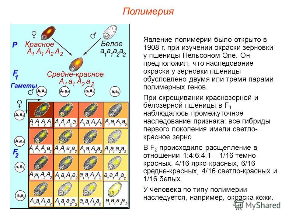 Явление полимерии было открыто в 1908 г. при изучении окраски зерновки у пшеницы Нельсоном-Эле. Он предположил, что наследование окраски у зерновки пшеницы обусловлено двумя или тремя парами полимерных генов. При скрещивании краснозерной и белозерной