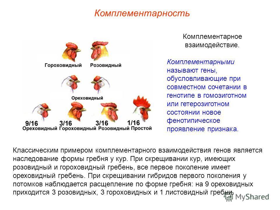 Комплементарность Комплементарное взаимодействие. Комплементарными называют гены, обусловливающие при совместном сочетании в генотипе в гомозиготном или гетерозиготном состоянии новое фенотипическое проявление признака. Классическим примером комплеме