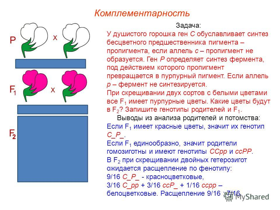 Задача: У душистого горошка ген С обуславливает синтез бесцветного предшественника пигмента – пропигмента, если аллель с – пропигмент не образуется. Ген Р определяет синтез фермента, под действием которого пропигмент превращается в пурпурный пигмент.