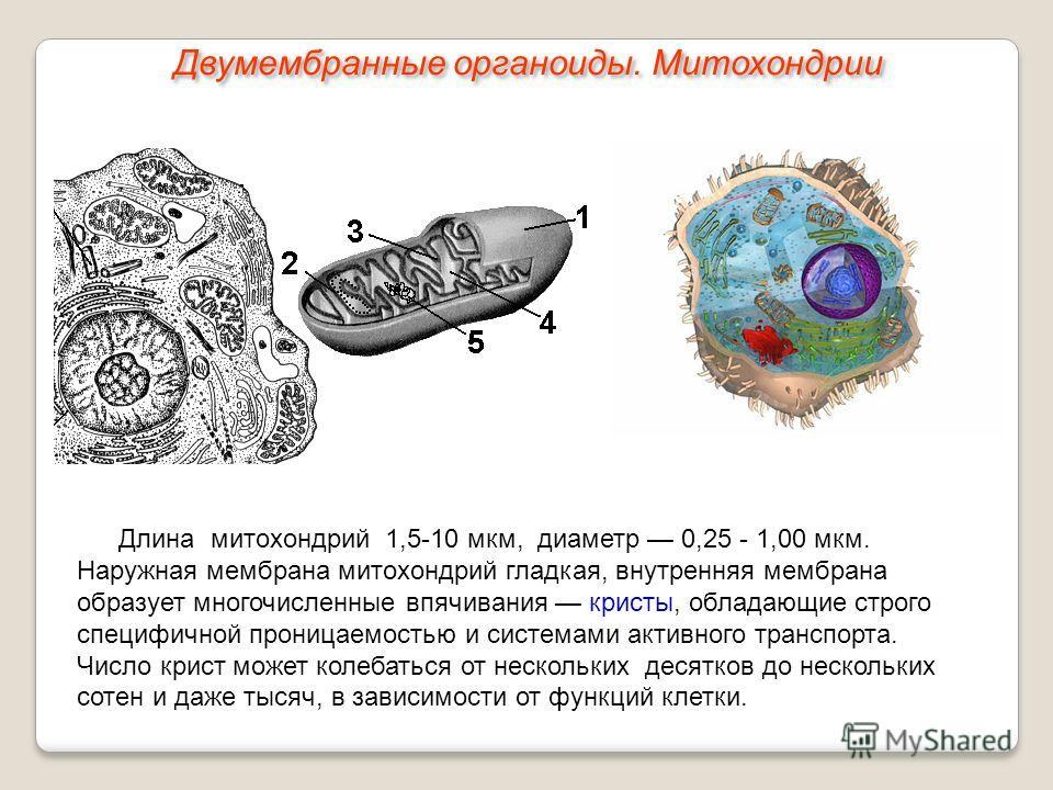 Длина митохондрий 1,5-10 мкм, диаметр 0,25 - 1,00 мкм. Наружная мембрана митохондрий гладкая, внутренняя мембрана образует многочисленные впячивания кристы, обладающие строго специфичной проницаемостью и системами активного транспорта. Число крист мо
