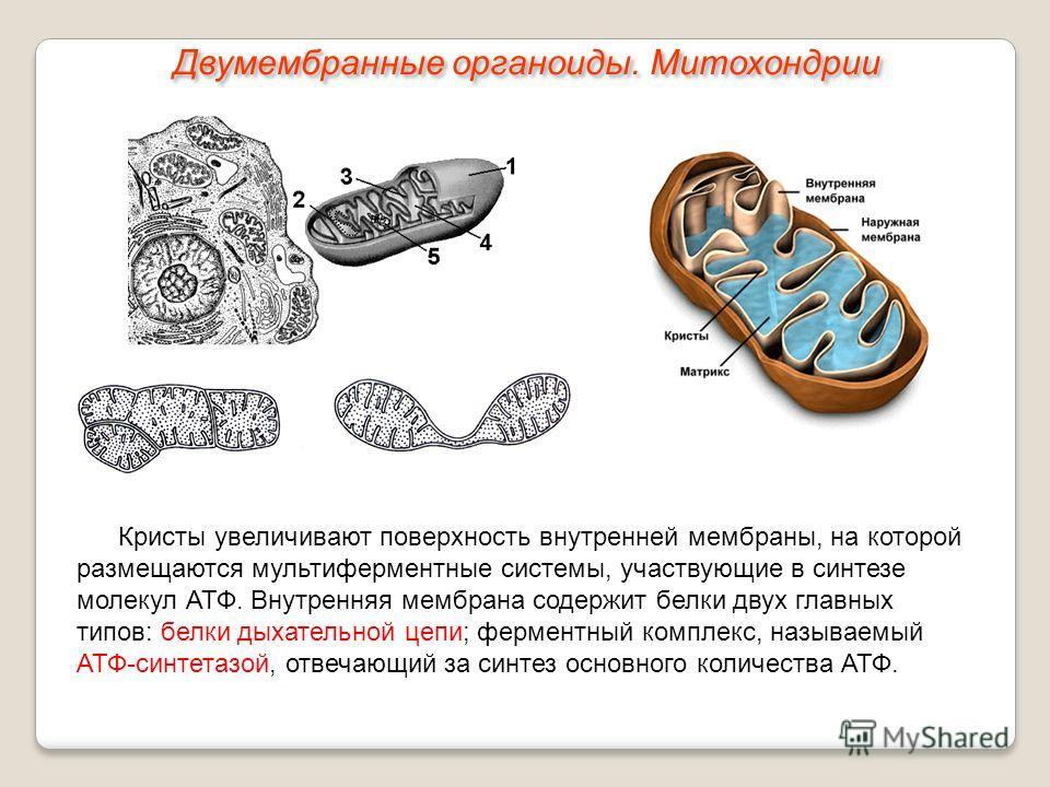 Кристы увеличивают поверхность внутренней мембраны, на которой размещаются мультиферментные системы, участвующие в синтезе молекул АТФ. Внутренняя мембрана содержит белки двух главных типов: белки дыхательной цепи; ферментный комплекс, называемый АТФ