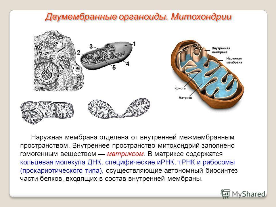 Наружная мембрана отделена от внутренней межмембранным пространством. Внутреннее пространство митохондрий заполнено гомогенным веществом матриксом. В матриксе содержатся кольцевая молекула ДНК, специфические иРНК, тРНК и рибосомы (прокариотического т