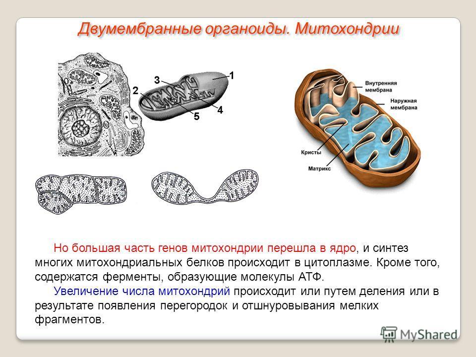 Но большая часть генов митохондрии перешла в ядро, и синтез многих митохондриальных белков происходит в цитоплазме. Кроме того, содержатся ферменты, образующие молекулы АТФ. Увеличение числа митохондрий происходит или путем деления или в результате п
