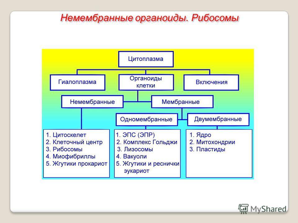 Немембранные органоиды. Рибосомы