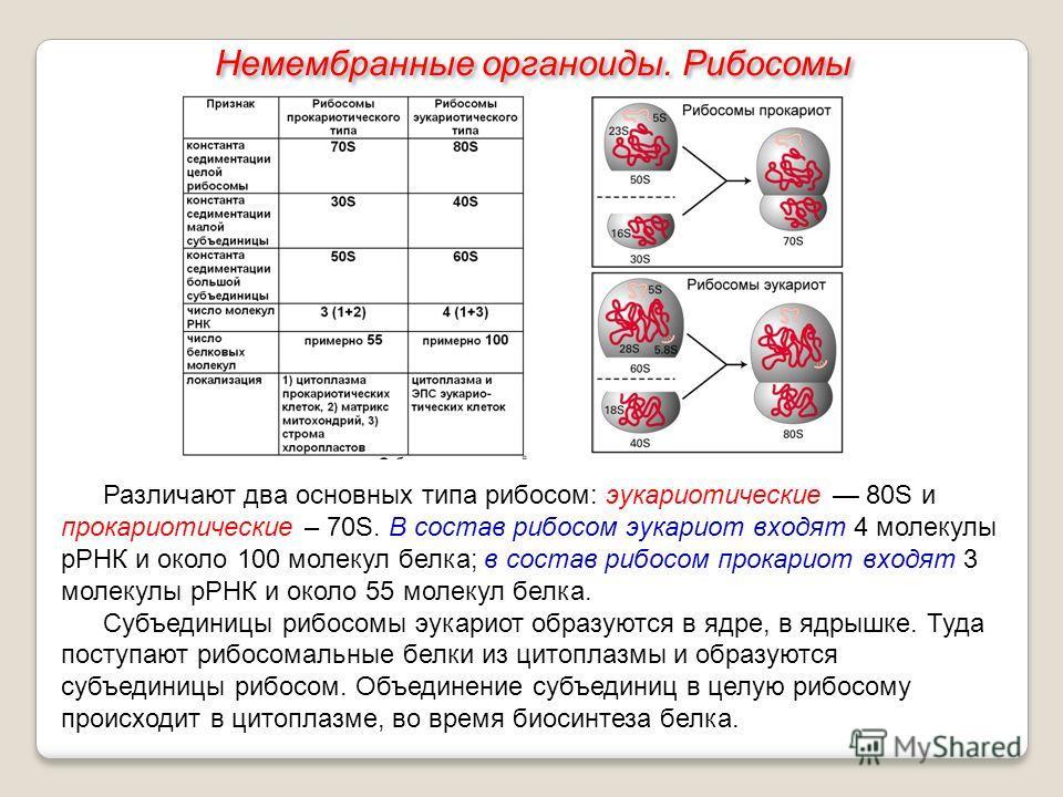 Различают два основных типа рибосом: эукариотические 80S и прокариотические – 70S. В состав рибосом эукариот входят 4 молекулы рРНК и около 100 молекул белка; в состав рибосом прокариот входят 3 молекулы рРНК и около 55 молекул белка. Субъединицы риб